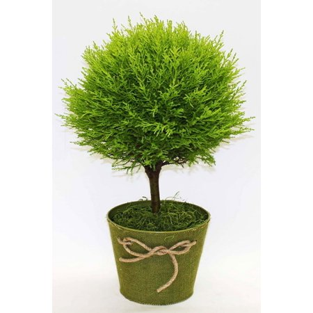 Lemon Cypress Goldcrest Topiary Tree, Green