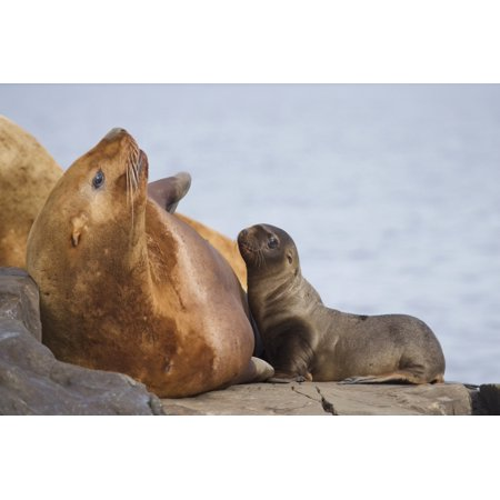 Steller Sea Lion Female And Young Pup Nursing Rock Prince William Sound Southcentral Alaska Summer Posterprint