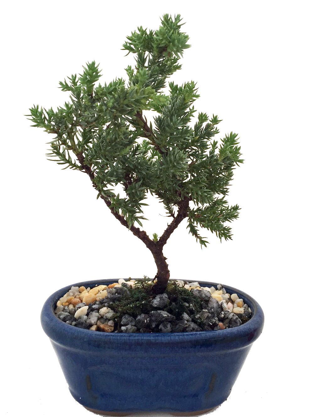 Miniature Japanese Juniper Bonsai Tree Ceramic Bonsai Pot by