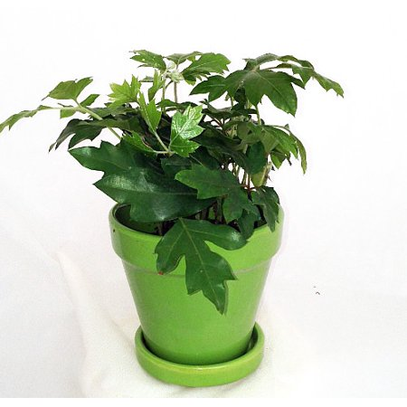 Oak Leaf Grape Ivy Plant Cissus Rhombifolia 4 Quot Glazed