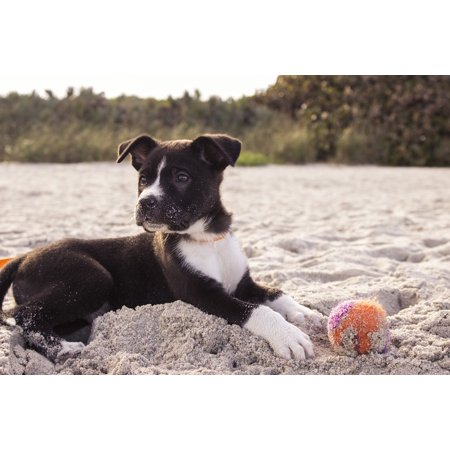 Sand Dot (Canvas Print Playing Pet Sand Puppy Canine Beach Ball Dog Stretched Canvas 10 x)