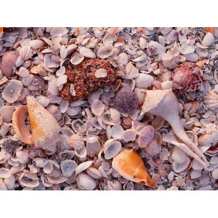 Florida, Sanibel Island, Gulf of Mexico, Sea Shell on the Beach Print Wall