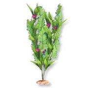 Blue Ribbon Plant - Flowering Sword Leaf Cluster Large Gr