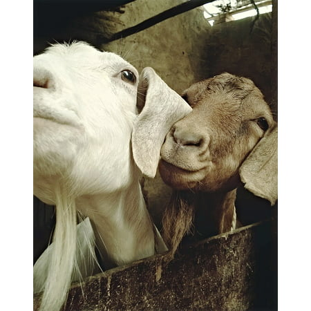 Laminated Poster Goatee Animal Goat Funny Big Ears Sheep Poster Print 11 x