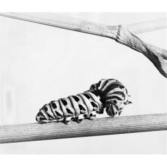 Posterazzi SAL9901769B Close-Up of the Caterpillar of a Swallowtail Butterfly on a Branch Poster Print - 18 x 24 in. - image 1 of 1