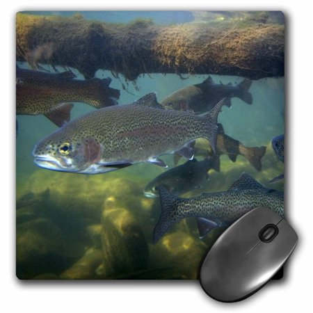 3dRose Rainbow trout fish, nature center, Boise, Idaho - US13 DFR0528 - David R. Frazier, Mouse Pad, 8 by 8 inches