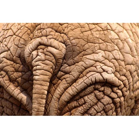 African Elephant tail and skin Amboseli National Park Kenya Poster Print by Gerry Ellis](Elephant Tail)