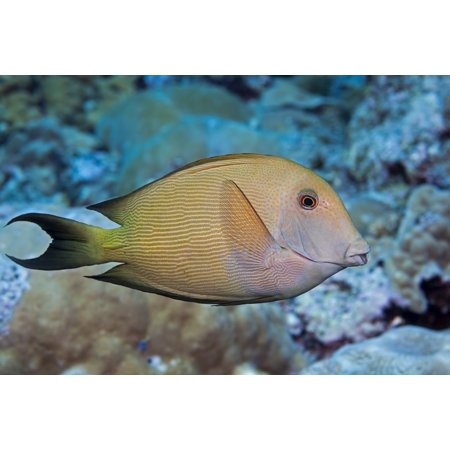 The Striated surgeonfish (Ctenochaetus striatus) also known as a striped bristle tooth Maui Hawaii United States of America PosterPrint