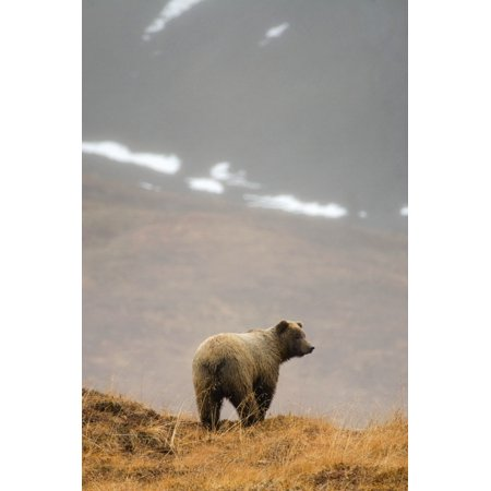 Brown Bear Standing On Ridge In Rain  Highway Pass Denali National Park Interior Alaska Autumn Posterprint