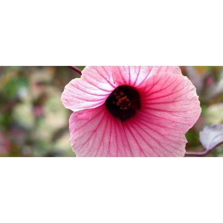 African Rose Cranberry Hibiscus Tea Plant Hibiscus Edible 4