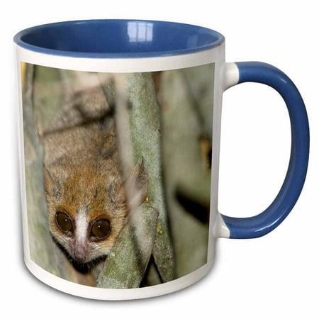 3dRose Brown Mouse Lemur, tree trunk in Madagascar-AF24 JMC0005 - Joe and Mary Ann McDonald - Two Tone Blue Mug, - Brown Lemur