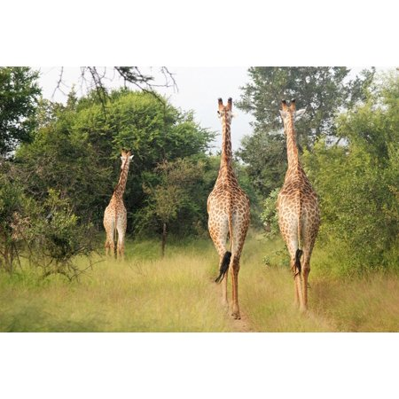 - LAMINATED POSTER Africa Large Animals Running Giraffes Group Poster Print 24 x 36