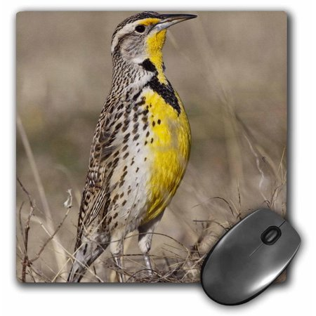 3dRose Western Meadowlark bird, Oklahoma - US37 LDI0029 - Larry Ditto, Mouse Pad, 8 by 8 inches
