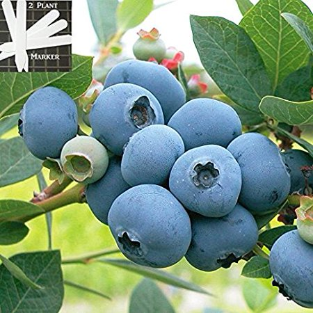 Organic Hardyblue Blueberry (Heirloom) 300+ Seeds +2 Free Plant (Best Indoor Plant Seeds)
