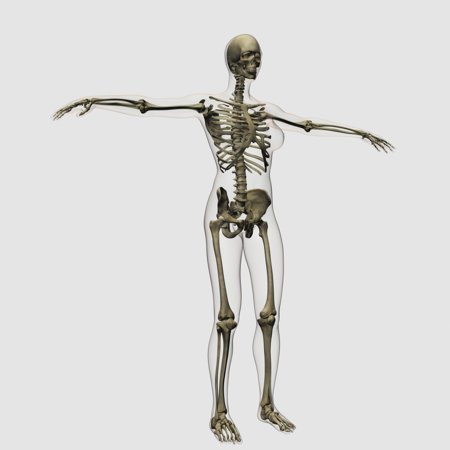 - Medical illustration of full female skeleton standing against white background three dimensional view Poster Print