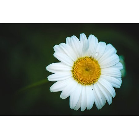 LAMINATED POSTER Chamomile Summer Flowers Flower Daisy Flowers Poster Print 24 x 36