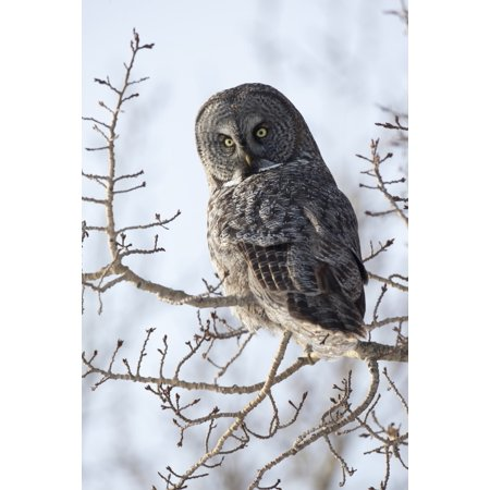 Close Up Of A Great Gray Owl Perched In A Tree Anchorage Southcentral Alaska Winter PosterPrint](Halloween Stores In Anchorage)
