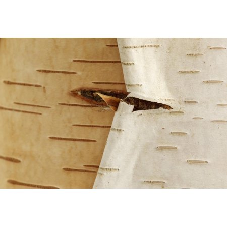 USA, Oregon, Keizer, Peeling Bark on a Paper Birch Print Wall Art By Rick A. Brown - Birch Bark Paper