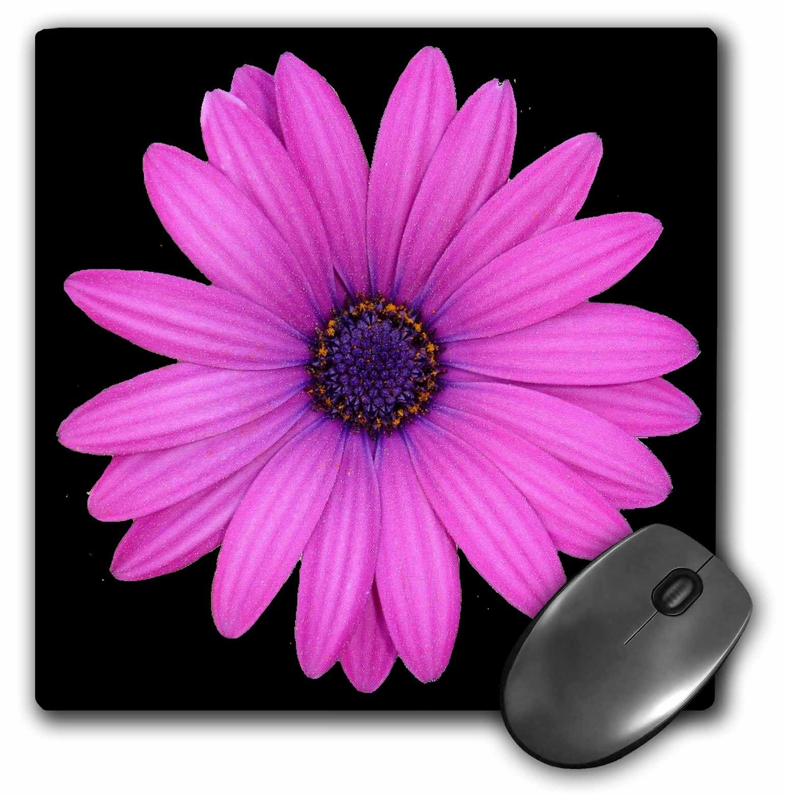 3dRose African Daisy A photograph of a bright pink blue eyed daisy isolated on a black background, Mouse Pad, 8 by 8 inches