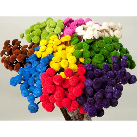 - Dried Floral Button Flowers - Colors 3-4 oz bunch Length 16-22in. -- Single bunch - Yellow