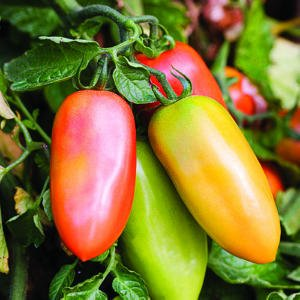 "San Marzano Tomato Plant- Two (2) Live Plants - Not Seeds -Each 5""-7"" Tall- In 3.5 Inch Pots"
