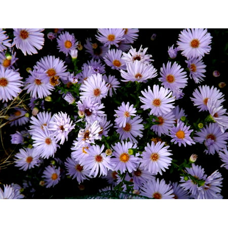 LAMINATED POSTER Violet Mov Pink Stars Daisy Plants Flowers Poster Print 24 x 36