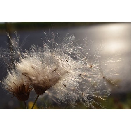 Canvas Print Close Ease Sunshine Wind Back Light Flying Seeds Stretched Canvas 10 x 14 ()