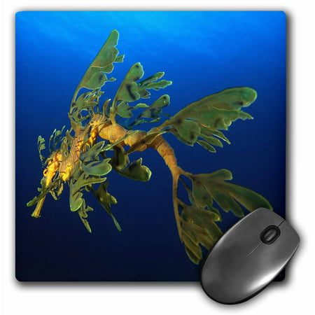 3dRose Leafy Sea Dragon - Phycodurus eques - in Esperance, Western Australia, Mouse Pad, 8 by 8 inches