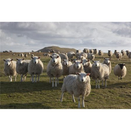 Northumberland, England - A Flock of Sheep In A Field Poster Print, 38 x 24 - Large - image 1 de 1