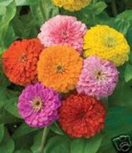 Zinnia California Giants Mixture Nice Garden Flower 300 Seeds