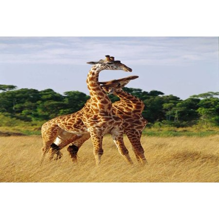 Giraffe young males neck-sparring Masai Mara National Reserve Kenya Poster Print by Gerry Ellis