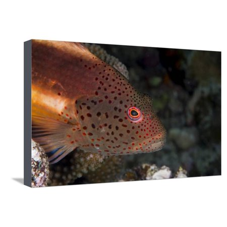 Freckled Hawkfish (Paracirrhites Forsteri) a Reef Fish That Feeds on Small Fish and Shrimps Stretched Canvas Print Wall Art By Louise Murray