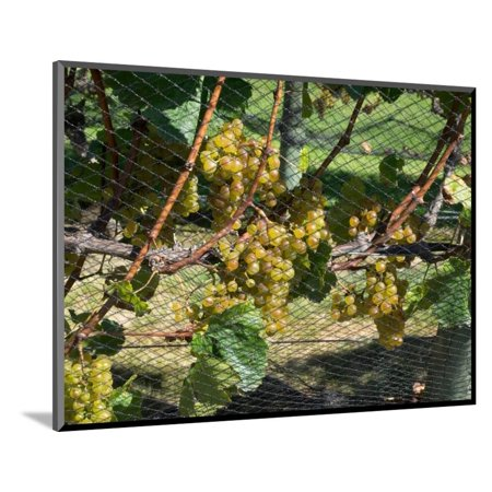 Chardonnay grapes on vine behind netting, Craggy Range Vineyards, Hawke's Bay, Hastings, North I... Wood Mounted Print Wall - Monkey Bay Chardonnay