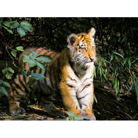 Laminated poster nuremberg tiger cub alone curious cute tiger cat laminated poster nuremberg tiger cub alone curious cute tiger cat poster 24x16 adhesive decal altavistaventures Images