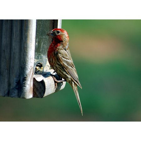 LAMINATED POSTER Wildlife Finch Red Headed Finch Feeder Avian Bird Poster Print 24 x 36