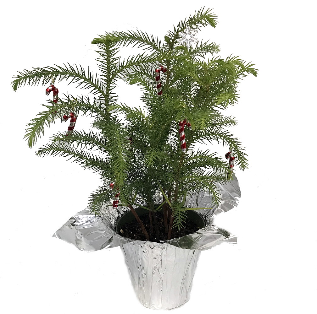 Christmas Trees Norfolk: Norfolk Island Pine Decorated Silver
