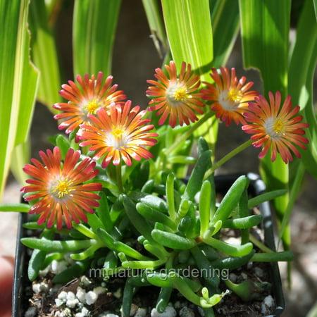 Delospermum HotCakes, Pumpkin Perfection, Ice Plant