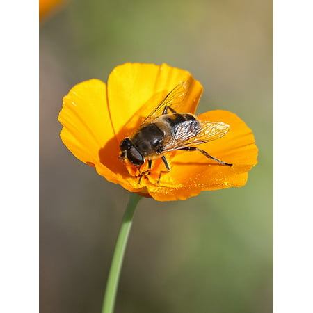 LAMINATED POSTER Hoverfly Fly Animal Insect Nature Poster Print 24 x 36