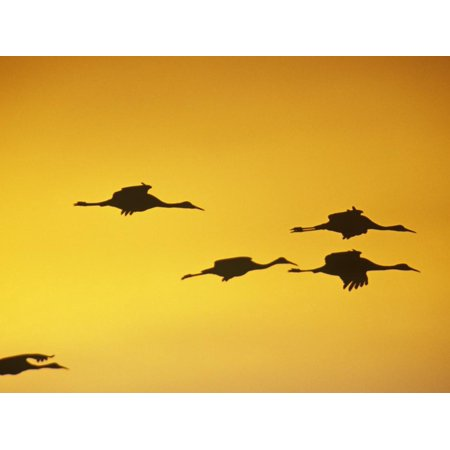 It Was Twilight And Sandhill Cranes >> Sandhill Cranes Flying At Twilight Grus Canadensis North America Print Wall Art By Steve Maslowski