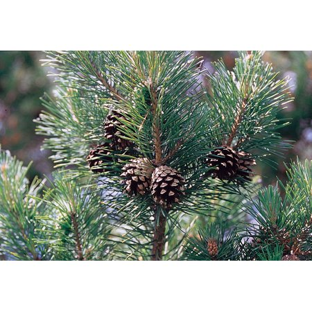Scotch/Scots Pine - Pinus sylvestris - Quart Pot - Outdoors or Bonsai ()