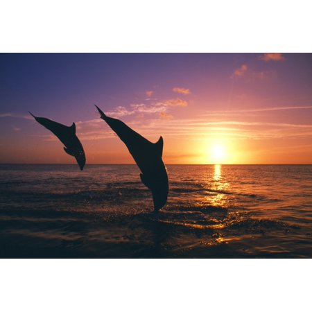 Silhouette Of Two Bottlenose Dolphins Diving Sunset Caribbean Sea PosterPrint