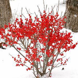 Ilex-Berry-Poppins-Ilex - QT Pot (Shrub) Goji Berry Plant