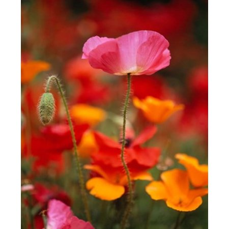 15 Poster Print - Iceland Poppies Fidalgo Island Washington State Poster Print by Panoramic Images (12 x 15)