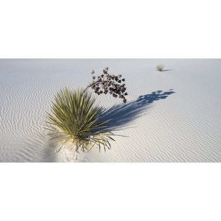 Soaptree Yucca  Yucca Elata  At Sand Dune White Sands National Monument New Mexico Usa Canvas Art   Panoramic Images  20 X 9