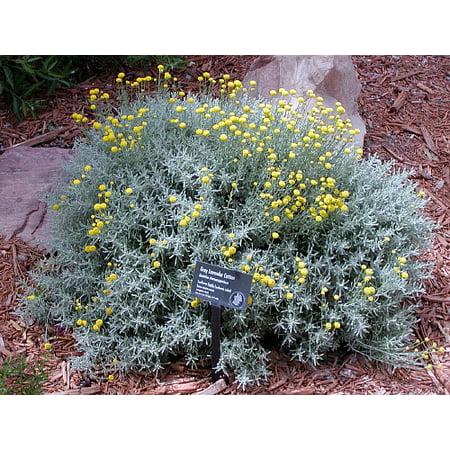 Grey Cotton Lavender Perennial- Santolina nana - Live Plant -Repels bugs-4