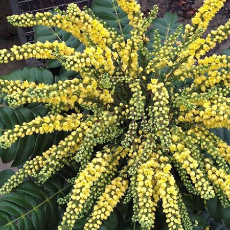 2 Gal - Marvel Mahonia - Leathery Evergreen Foliage and Yellow Blooms in Winter