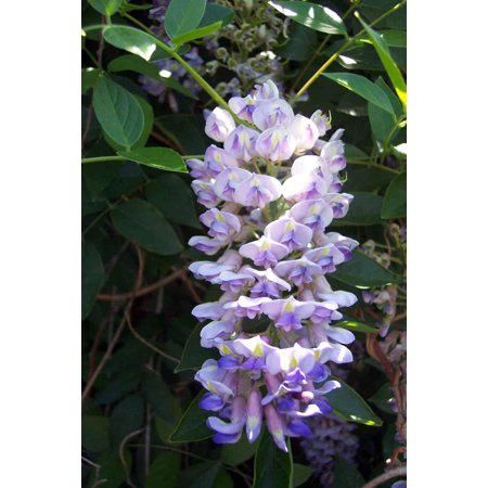 "Blue Moon Wisteria Plant - Potted - Huge Fragrant Blooms - 2.5"" Pot"