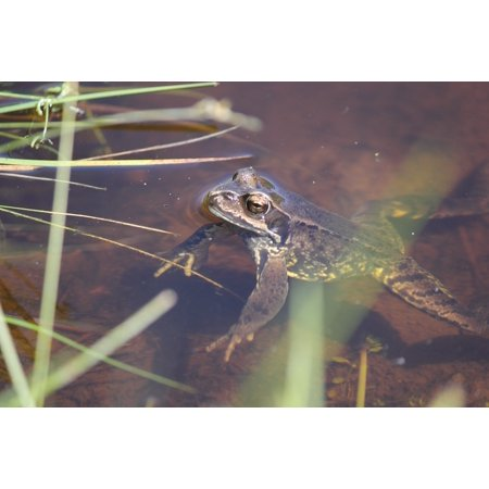 Canvas Print Toad Animal Brown Amphibian Frog Stretched Canvas 10 x 14
