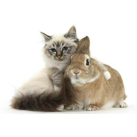 Tabby-Point Birman Cat with Paw Round Sandy Netherland-Cross Rabbit Print Wall Art By Mark Taylor