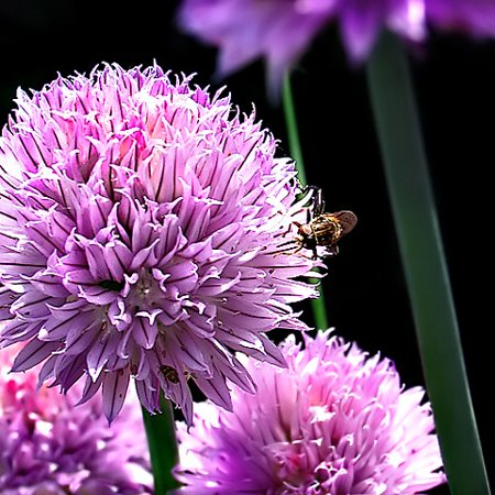 Chives - Hardy Perennial - Easy to Grow! - 3